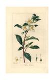 Tea  Camellia Sinensis  Native to China