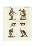Chimpanzee  Bornean Orang Utan  and Baboons