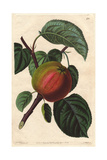 Early Red Margaret Apple  Malus Domestica