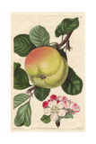 Hawthornden Apple  Malus Domestica