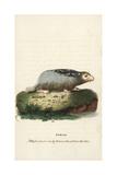 Bobak Marmot  Marmota Bobak