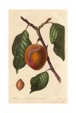 Washington Plum  Prunus Domestica  from New York