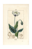 Garden or Opium Poppy  Papaver Somniferum