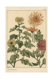 Chrysanthemum Botanical Study