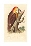 Jamaican Woodpecker  Melanerpes Radiolatus