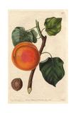 Turkey Apricot or Abricot De Nancy  Prunus Armeniaca