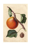 Hemskirke Apricot Variety  Prunus Armeniaca  Origin Unknown