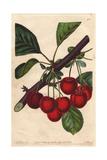 Late Duke Cherry  Prunus Avium