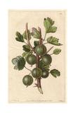 Early Green Hairy Gooseberry  Ribes Uva-Crispa