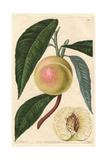 White Nectarine  Prunus Persica Var Nectarina