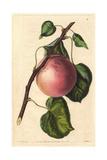 Royal Apricot  Prunus Armeniaca