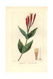 Indian Pink or Woodland Pinkroot  Spigelia Marilandica