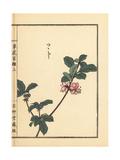 Tsutsuji or Japanese Azalea  Rhododendron Species