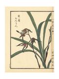 Kanran Orchid  Cymbidium Kanran Makino
