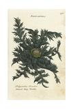 Dwarf May Thistle  Cirsium Acaule