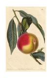 Madeleine De Courson or Red Magdalen Peach  Prunus Persica