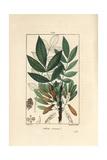 Ash Tree  Fraxinus Excelsior