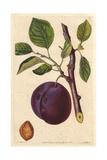 Mimms Plum  Prunus Domestica