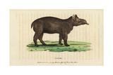 Tapir  Tapirus Terrestris Vulnerable