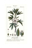 Native Rosella  Hibiscus Heterophyllus  Native to Australia