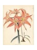 Barbados Lily  Hippeastrum Striatum