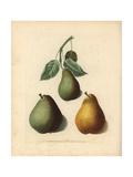 Pear Varieties  Pyrus Communis