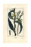 Vanilla Orchid  Epidendron Vanilla