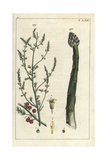 Asparagus Plant  Asparagus Officinalis