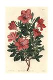 Brick Red Chinese Azalea  Rhododendron Indicum