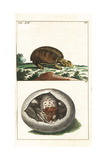 Florida Softshell Turtle  Apalone Ferox  and Young in Egg