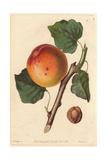 Roman Apricot  Prunus Armeniaca  Old and Worst Variety