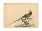Blossom-Headed Parakeet  Psittacula Roseata