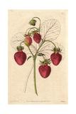 Sweet-Cone Strawberry  Fragaria Ananassa