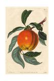 Margil Apple  Malus Domestica