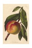 Malta Peach  Prunus Persica  Variety of Melting Peach