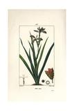 Stinking Iris  Iris Foetida