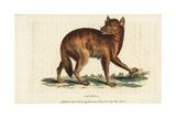 Golden Jackal  Canis Aureus