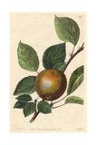 Golden Harvey Apple  Malus Domestica