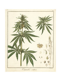 Hemp or Marijuana  Cannabis Sativa