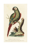 Chestnut-Fronted Macaw  Ara Severus