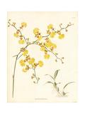 Golden Shower Orchid  Oncidium Flexuosum