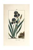 Blue Flower De Luce  Iris Germanica