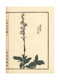 Jewel Orchid  Goodyera Schlechtendaliana