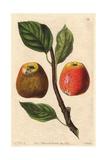 Hubbard's Pearmain Apple  Malus Domestica