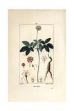 Ginseng  Panax Quinquefolium