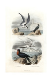 Tern  Black Tern  Great Frigatebird and White-Tailed Tropicbird