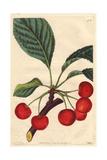 Belle De Choisy Cherry  Prunus Avium