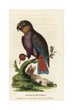 Dusky Parrot  Pionus Fuscus