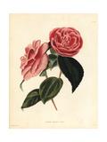 Double Camellia Cultivar  Camellia Japonica Carnea