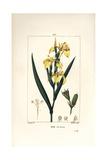 Yellow Iris  Iris Palustris Lutea